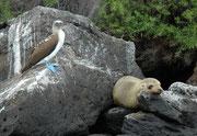 """Galapagos wird häufig als ein """"Paradies"""" bezeichnet, wo die Tiere völlig friedlich nebeneinander und miteinander leben, so wie hier, auf Santa Fe, ein Galapagos-Seelöwe (Zalophus wollebaeki) und ein Blaufusstölpel (Sula nebouxii)."""