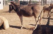 Auf der Kamelfarm entdeckten wir auch ein Zebroid, also eine Kreuzung zwischen einem Zebrahengst und - hier - einer Eselstute. Zebroide sind in der Regel nicht fortpflanzungsfähig, da die Chromosomenzahlen der Elterntiere nicht identisch sind.
