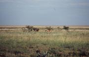 In der Frühe des Morgens, auf dem Weg zurück in Richtung Namutoni, sahen wir plötzlich am Rande der Salzpfanne einen ungewöhnlich grossen, gelblichen Haarschopf. Er stellte sich als die Mähne eines Löwen heraus, zu der sich bald ein zweiter gesellte.