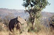 Auch die Breitmaulnashorn-Mutter (Ceratotherium simum) zog sich alsbald mit ihrem Kalb ins Unterholz zurück. Auf ihr sitzen die bekannten Rotschnabel-Madenhacker (Buphagus erythrorhynchus). Leider werden heute Nashörner sogar im Krüger NP gewildert.