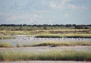 Flamingos sieht man im Etosha NP auch nur ganz selten, nämlich dann, wenn es ausreichend Wasser hat. Wir hatten das Glück, dass dies bei unserem Besuch im Jahre 2004 der Fall war.