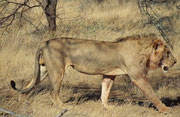 Der junge männliche Löwe hatte noch reichlich Blutspuren an seiner Schnauze und seiner Mähne vom nächtlichen Mahl (Samburu)