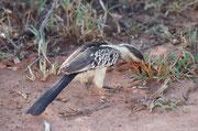 """Hier ein treuer Begleiter, der immer wieder am Wegrand auftauchte, so dass wir ihn bald einmal """"Freund"""" nannten. Es handelte sich um den Südlichen Gelbschnabeltoko (Tockus leucomelas), einen Vertreter der Familie der Nashornvögel (Bucerotidae)."""