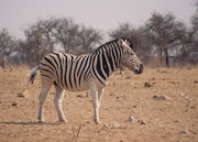 Die helleren Zwischenstreifen sprechen bei diesem imposanten Zebrahengst für ein Burchells Zebra (Equus quagga burchellii), die fehlende Streifenzeichnung an den weissen Beinen dagegen für ein Chapmans Zebra (Equus quagga chapmani) (Tsumcor, Etosha NP)
