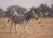 Die helleren Zwischenstreifen sprechen bei diesem imposanten Zebrahengst für ein Burchells Zebra (Equus quagga burchellii)  (Tsumcor, Etosha NP)