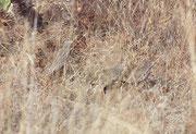 Hier dürfte es sich um Grauflügelfrankoline (Francolinus africanus) handeln. Frankoline gehören in die Familie der Fasanenartigen und sind in Afrika mit 36 Arten vertreten. Sie leben mehrheitlich am Boden und ernähren sich von Insekten, Pflanzen und Samen