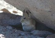 Die Bolivianische Grossohrmaus ist, mit ihren 10-15 cm Körperlänge und den 2,5 bis 3,5 cm langen Ohren ein wirklich herziges Tier. Diese Art vergesellschaftet sich effektiv häufig mit den Viscachas und profitiert von deren Alarmrufen.