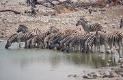 Auch Okaukuejo, das westlichste für Touristen regelmässig geöffnete Camp im Etosha NP hat natürlich eine eigene Wasserstelle als Anziehungspunkt und zwar nicht nur für die Parkbesucher sondern auch für die Parkbewohner (hier eine Herde Buchell Zebras).