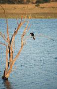 Vom Beobachtungsversteck aus sahen wir auch ein paar Vögel, darunter diesen Altwelt-Schlangenhalsvogel (Anhinga melanogaster), der in der Abendsonne seine Flügel trocknete. Er kann dank speziell geformter Halswirbel unter Wasser Fische aufspiessen.
