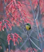 """Nektarvögel haben, wie die """"Honey-eaters"""" Australiens, einen, abwärtsgebogenen Schnabel und eine lange Zunge, mit der sie den Nektar aus den Blüten saugen und Insekten fangen, Im Bild vermutlich das Weibchen des Wald-Nektarvogels (Hedydipna collaris )."""