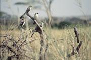 Eine Gruppe von Graumantelwürgern (Lanius excubitoroides). Im Gegensatz zum Schwarzstirnwürger leben diese Vögel ganzjährig in Afrika. Es sind sehr gesellige Vögel, die meist in kleinen Gruppen zusammenleben(Serengeti NP)