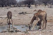 Giraffen nähern sich, wie erwähnt, dem Wasser sehr vorsichtig. Bevor sie zu trinken beginnen wird jeweils noch lange erneut gesichert. Endlich spreizen sie dann die Vorderbeine, nehmen ein paar Schlucke und richten sich sofort wieder auf.