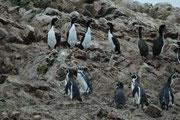 Ein weiterer häufiger Vogel auf den Islas Ballestas ist der Guanokormoran (Phalacrocorax bougainvillii) ein ziemlich grosser Vertreter der Familie der Kormorane (oben im Bild). Er ist an der westlichen Küste Südamerikas von Peru an südwärts verbreitet.