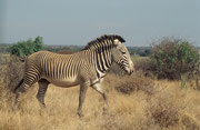 Ein weiterer, wunderbarer Grevy-Zebra Hengst (Samburu)