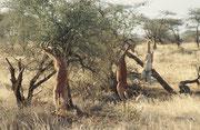 Drei Giraffengazellenböcke. Um an hohe Äste zu gelangen, erheben sie sich auf die Hinterbeine und stützen sich mit den Vorderbeinen am Busch ab (Samburu)
