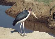 Auch der Marabu (Leptoptilos crumeniferus), ein Verwandter der Störche, kommt im Lake Nakuru NP ziemlich häufig vor.