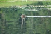 Wir hatten jedoch den Eindruck, dass sie uns neugierig beobachteten. Anders als unsere Fischotter leben Riesenotter gesellig. Die Jagd wird, in der Gruppe organisiert: Die Mitglieder einer Ottergruppe treiben sich die Fische gegenseitig zu.