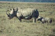 ...um sich dann wiederum ganz gesittet hinter die Mutter zu stellen, sobald wir unser Auto bewegten (Lake Nakuru NP)