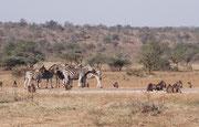 An den Wasserstellen (oft künstlich angelegt und die Wasserpumpe mit Sonnenenergie betrieben) finden sich Tierarten auf engstem Raum ein, die man sonst nicht zusammen antrifft, wie hier Burchell's-Zebras (E. q. burchellii) und Bärenpaviane (Papio ursinus)