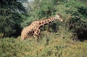 Netzgiraffenbulle (Samburu). Handelt es sich um ein hellbraunes Tier mit weissem Netzmuster oder um ein weisses Tier mit grossen hellbraunen Flecken ?