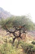 Wir trauten unseren Augen nicht: Da lag doch tatsächlich ein Löwe in einem Baum, eigentlich in einem Bäumchen. In der Tat sind die Löwen des Lake Manyara NPs bekannt dafür, dass sie im Geäst von Bäumen ruhen. Aber sie zu sehen, ist Glückssache.