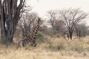 Auch diese Giraffe mit dem schönen Netzmuster ruht in der Mittagszeit im Schatten eines Baumes. Dass sie sich dazu hingelegt hat, ist aussergewöhnlich, da sie in dieser Position sehr verletzlich ist.