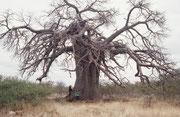 Das Messina Naturreservat befand sich in unserer Nähe. Weil es dort keine Elefanten gibt, welche eine Vorliebe für das saftige Mark haben, trafen wir auf fantastische, intakte Baobabs Hier im Vergleich mit meiner Frau Rosemarie und unserer Tochter Sarah.