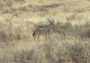 Wo so viele Huftiere und so viele grosse Raubtiere sind, geht es auch dem Schabrackenschakal (Canis mesomelas) nicht schlecht. (Ngorongoro NP)
