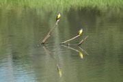 Gelbbauchschnäpper (Pitangus lictor) fangen bisweilen auch kleine Fische. Bei der Jagd auf Insekten sitzen sie auf einem Ast, warten, dass diese vorbeifliegen und versuchen sie zu schnappen.