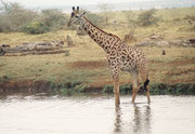 Giraffen sind ausserordentlich vorsichtige Geschöpfe. Dass eine sogar ins Wasser hineingeht und dieses durchschreitet, haben wir auf unseren Safaris vorher noch nie und nachher nie mehr gesehen. Effektiv habe ich gelesen, dass Giraffen dies nicht tun...