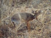 Wenn einem das Dik-Dik den Kopf zuwendet, sieht man das lustige Haarbüschelchen zwischen den Ohren (Samburu)