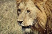 Die beiden Löwen marschierten dann in aller Ruhe unmittelbar neben unserem Fahrzeug vorbei weiter. Wenn ich die Hand zum Fenster hinausgestreckt hätte, hätte ich durch die Mähnen fahren können. Aber ich liess es besser bleiben...