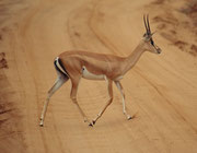 Grant Gazelle, weibliches Tier (Tsavo East)
