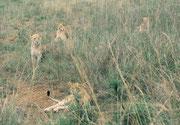 Eine weitere Löwengruppe im Nairobi NP