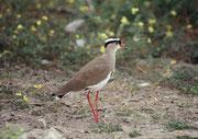 Kronenkiebitz (Vanellus coronatus) ein, auffälliger wahrer Schreihals, der aber gar nicht so leicht zu fotografieren ist.