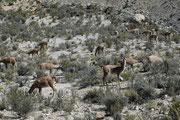 Und dann sahen wir sie, auf etwa 3000 m Höhe: Die Guanacos (Lama gunaicoe). Das sind Wildtiere - keine Haustiere - die ihr Leben in dieser kargen Umgebung fristen. Sie wurden vor etwa 5000 Jahren von den Inkas domestiziert (Ahnform des Lamas und Alpakas).