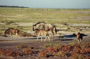 Wir hatten den Eindruck, dass diese feuchte und grüne Landschaft für viele Tiere auch der richtige Zeitpunkt war, Junge zu werfen. Hier gerade drei junge Streifengnus (Connochaetes taurinus).
