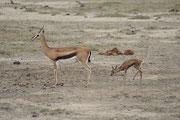 Thompson Gazelle (Eudorcas thomsoni) mit Kalb (Amboseli)