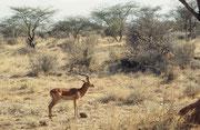 Impalabock (Aepyceros melampus melampus) in typischer Landschaft. Diese Art wird auch Schwarzfersenantilope genannt, weil, wie man sieht, oberhalb des Hufes an jedem Hinterlauf ein schwarzes Haarbüschel wächst. (Samburu)