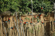 Nachdem die grünen Papageien die Lehmwand verlassen hatten, wurde sie von den dunkelroten Aras in Beschlag genommen. Die Vögel nehmen ev. den Lehm auch auf, um Schadstoffe in ihrer Nahrung (z. B. gewisse Giftstoffe) im Verdauungssystem zu neutralisieren.