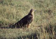 Adler (Art ?). (Lake Nakuru NP)