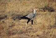 Sekretär (Sagitarius serpentarius) (Samburu)