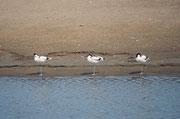 Hier eine kleine Gruppe von Säbelschnäblern (Recurvirostra avosetta). Es könnte sich um Angehörige der nordwesteuropäischen Population handeln, die an der afrikanischen Atlantikküste überwintern, aber auch um Tiere, die in Afrika leben.