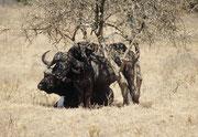 In der Hitze des Mittags suchen viele Tiere, wie auch diese Kaffernbüffel, Schatten unter den Bäumen, auch wenn diese keine Blätter mehr haben.