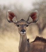 Die grossen Ohren dieser Kudu-Kuh (Tragelaphis strepsiceros) sprechen für ein ausgezeichnetes Hörvermögen. In der Regenzeit sind Kudus eher einzelgängerisch oder in kleinen Gruppen, in der Trockenzeit kommen sie zu grösseren Verbänden zusammen.