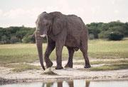 Im Etosha NP gibt es, jedenfalls in der Trockenzeit, etwa 2000 Elefanten und im innerafrikanischen Vergleich gelten sie als sehr gross. Dennoch sahen wir und auch andere Besucher des Parks, 2004 fast keine Eine Ausnahme bildete dieser riesige Bulle.