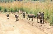 """Gemäss Management beherbergt der Pilanesberg NP praktisch jedes Säugetier Afrikas (darunter auch die sogenannten """"Big Five""""). Kein Wunder, dass uns bald schon eine Warzenschweinmutter (Phacochoerus africanus) mit ihren Jungen auf der Autostrasse begegnete"""