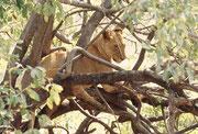 Wir blieben mit unserem Safaribus längere Zeit bei diesem Rudel (nicht zuletzt auch, weil eine Elefantenherde den Weg versperrte). Die Löwen liessen sich jedoch nicht stören und lagen dort in den unbequemsten Stellungen, ohne sich zu rühren.