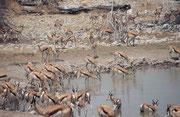 Wenn so eine Herde Springböcke die Wasserstelle bei Okaukuejo aufsuchte, war es manchmal fast schwierig im Gewimmel der vielen Tierkörper und -beine, noch das Wasser zu sehen..