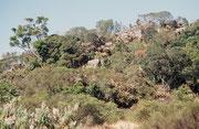 """Ein kleiner Pfad führt vom Aussichtspunkt """"God's Window"""" hinauf zum 1730 m hohen Quartzkop und dem dortigen Stück Regenwald, mit Farnen, Moos, verkrüppelten Yellowwood-Bäumen (= sudafrikanischer Nationalbaum) und Waldreben (""""Old men's beard"""")."""